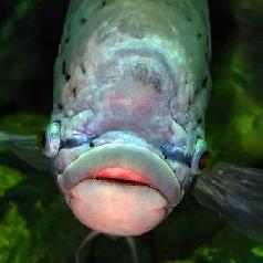 15-big-lipped-fish.jpg