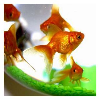 imperial goldfish - photo #45