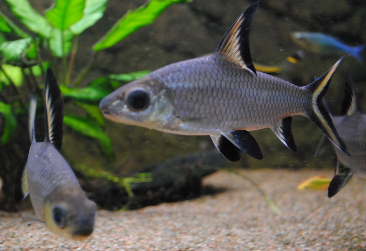Freshwater Aquarium Sharks For Sale Images & Pictures - Becuo